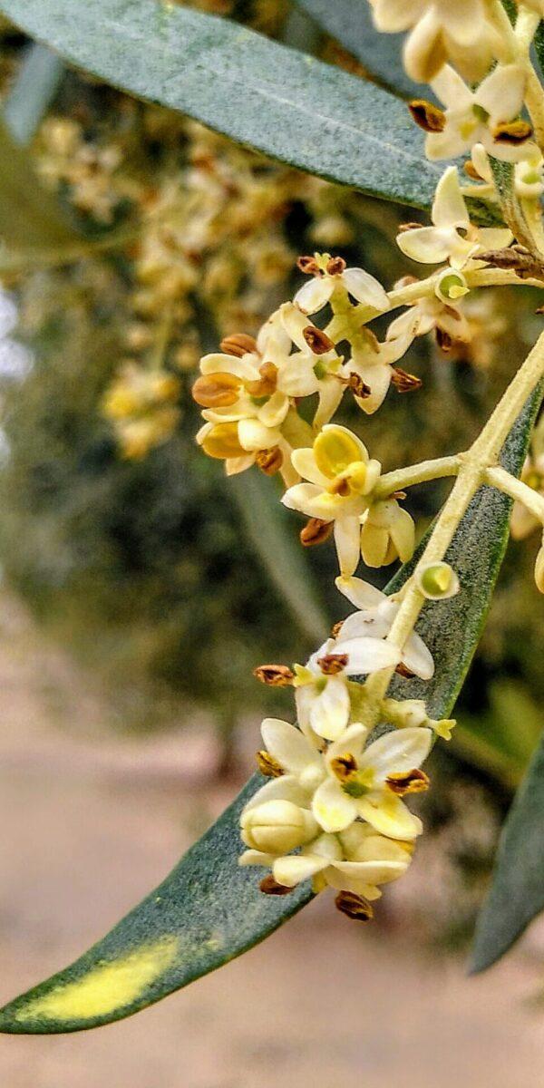 Nuestros olivos están en fase de floración